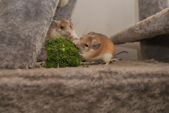 Kohlgemüse, insbesondere Broccoli und Kohlrabi,  ist bei Hamsteräffchen so beliebt dass es sich lohnt sich darum zu prügeln. Meine Tiere grasen übrigens verschwenderischerweise nur das Grün der Röschen ab und lassen den Rest liegen.