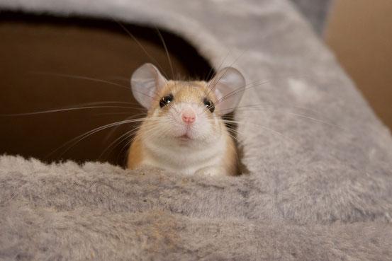 Nicht nur süß anzusehen, sondern auch ein ausgeklügeltes Wasserspar-Gadget: das Hamsteräffchen-Näschen ist nämlich, vereinfacht gesagt, so kalt, dass es beim Ausatmen innen beschlägt.