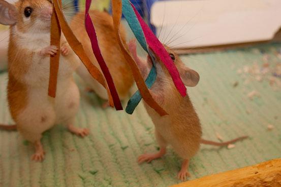 """Obwohl binnen Tagen alleine überlebensfähig, werden die Jungen genau wie Mäuse noch wochenlang weiter gesäugt, wie man auch an den """"Turbo-Eutern"""" der Mutter dieses Jungspunds erahnt."""