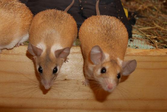 """Hamsteräffchen ähneln einander so sehr, dass man sie oft nur an ihrem Gesichtsausdruck unterscheiden kann. Anders als """"bunte"""" Arten, bleiben sie daher zum einen wirklichen Liebhabern ihres Wesens vorbehalten und sind zum anderen von robuster Gesundheit."""