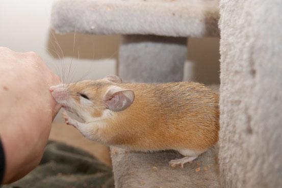 Hamsteräffchen Maniamaus verteilt Gratis-Piercings.