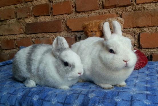 à droite lapin nain de couleur, à gauche lapin nain loffelohr