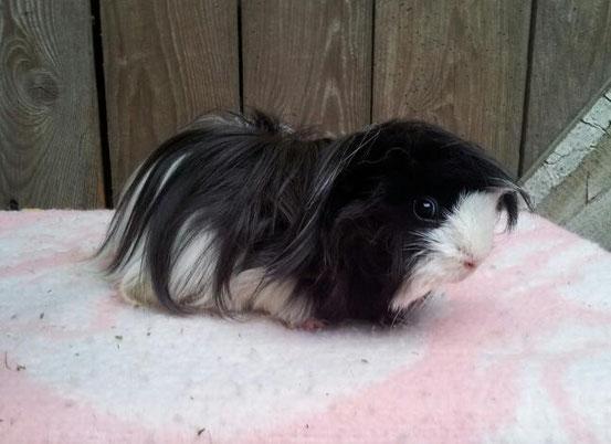 femelle cochon d inde noir et blanc
