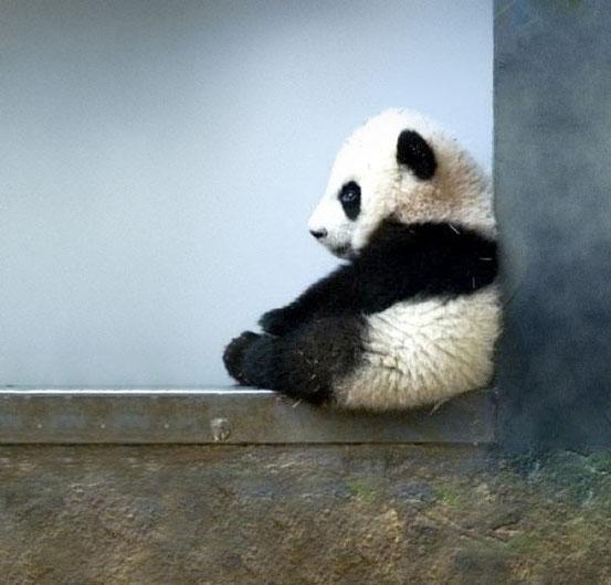 Детёныш панды.