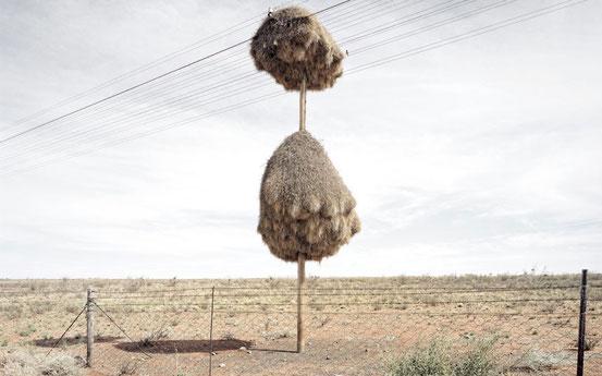 Общественный ткач и его мнгоквартирное гнездо