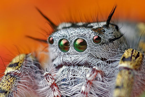 Взрослая самка Phidippus audax