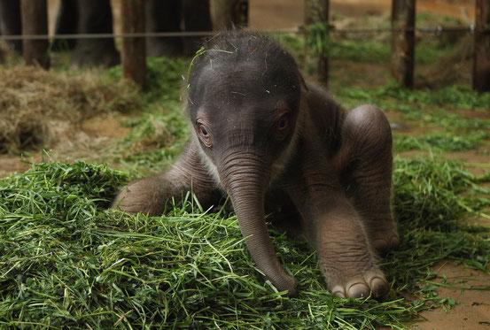 Слонёнок.