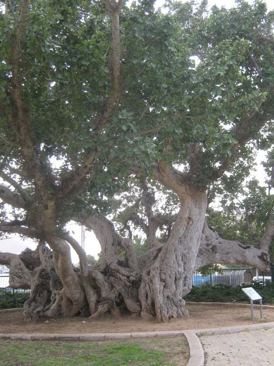 Ствол древнейшей сикоморы Израиля (www.boti.ru/node/64336)