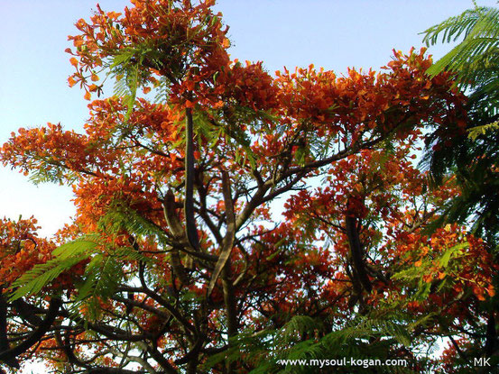 Огненное дерево
