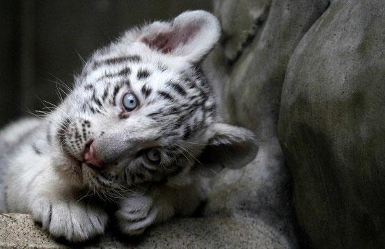 Белый тигрёнок