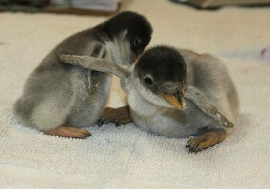 Пингвинята.