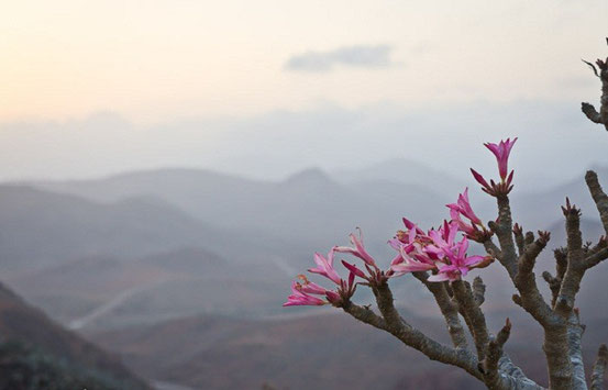 Роза пустыни с острова Сокотра