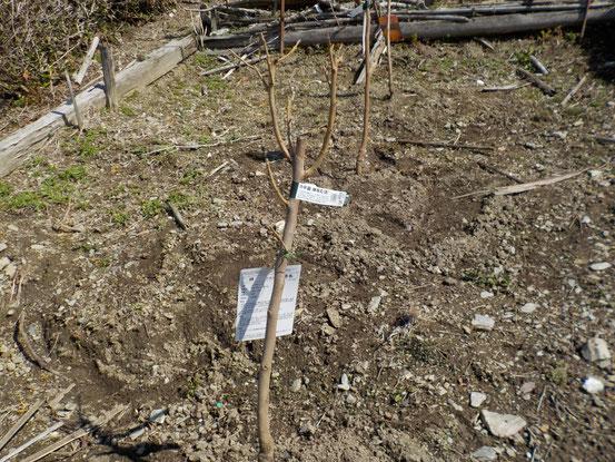 蜂屋柿の両隣には受粉樹として禅寺丸を植えました。