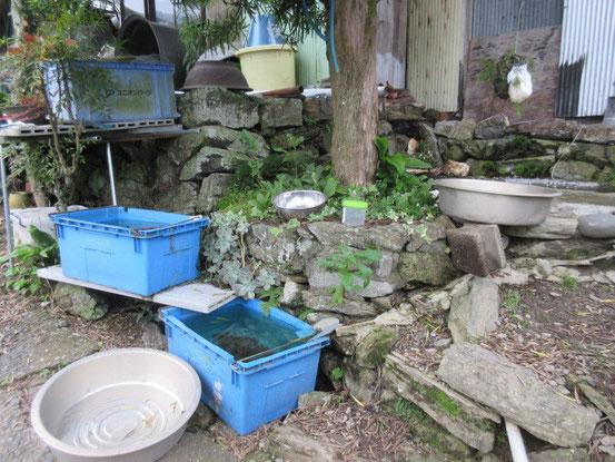 モリアオガエルの卵塊の下に水を張ったバケツやコンテナを置きます