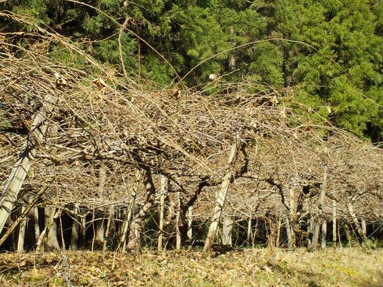 枝が伸びっ放しのキウイフルーツの樹。