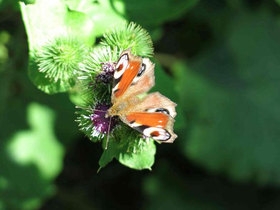 Nahaufnahme Schmetterling Pfauenauge auf Blume