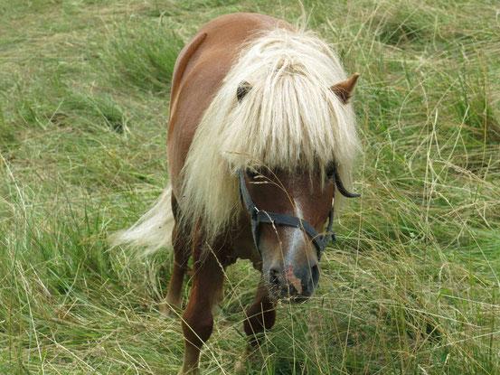Höhenwanderweg Sankt Andreasberg: Pony mit heller Mähne