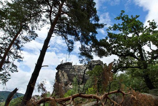 Wanderweg Teufelsmauer, Blick auf den Aussichtspunkt Großvaterfelsen mit Geländer drumherum. Quer liegende Kiefer im Vordergrund