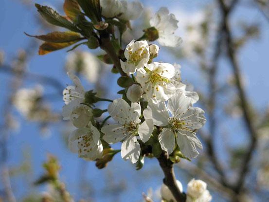 Blüten, Frühling, Baum, Harz