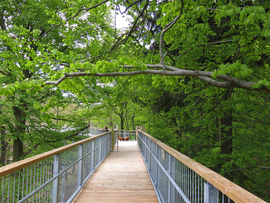Baumwipfelpfad Bad Harzburg: Holzbeplankter Weg in 26 Metern Höhe, zwischen Bäumen