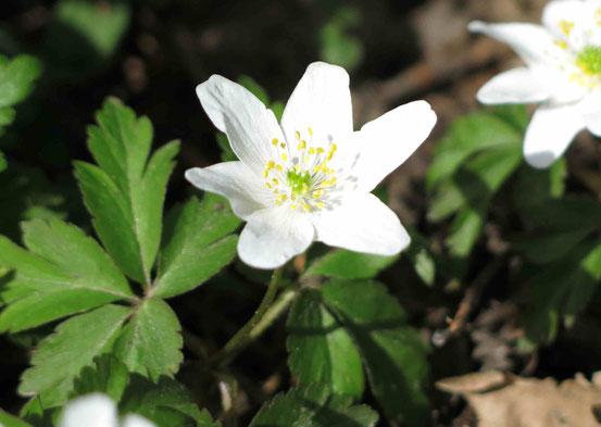 Weiße Blüte eines Buschwindröschens