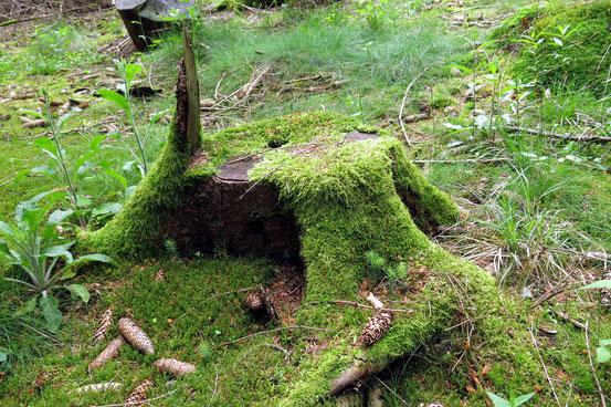 Baumstamm mit Moos überwachsen