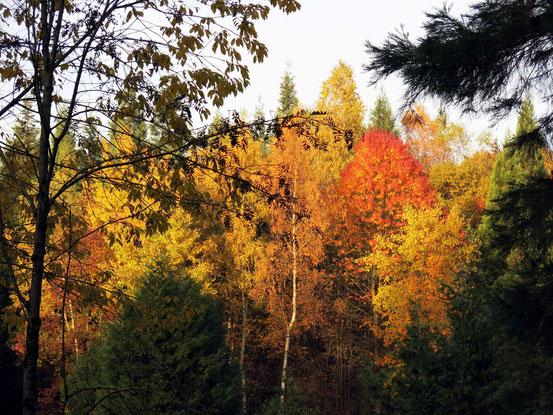 Indian Summer - nicht nur Kanada und die USA können intensive Blattfärbung, auch der Weltwald im Harz