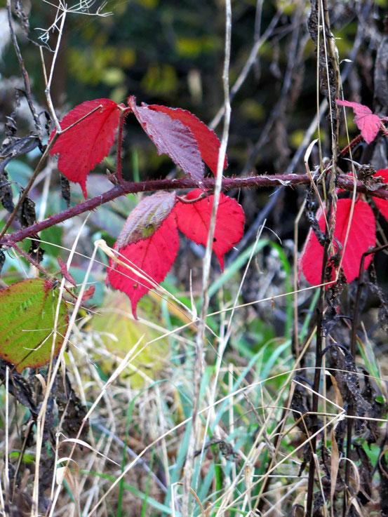 Rotgefärbte Blätter: Herbststimmung im Weltwald/ Harz