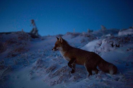 Fuchs im Dämmerlicht auf dem Brocken/ Harz