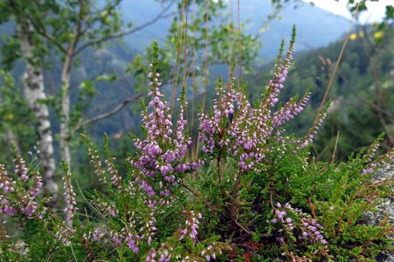 Harz Heidekraut