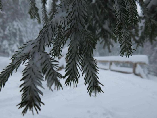 Fichtenzweig Schnee