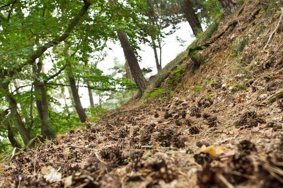 Wanderweg entlang der Teufelsmauer im Harz, Großaufnahme Weg mit darauf liegenden Zapfen