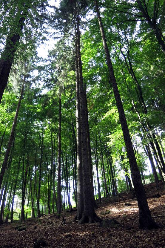 Buchenwald Harz/ Bad Harzburg