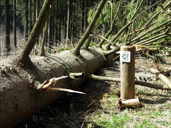 Ein Wegweiser der Kästeklippentour, der auf Kniehöhe endet. Daneben ein umgestürzter Baum, der den Pfosten mit dem Wegweiser offensichtlich in den Boden gerammt hat.