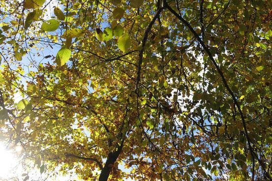 Wanderung Stolberg-Josephskreuz, Buchen im Herbst