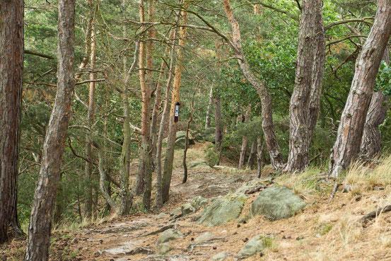 Wanderweg entlang der Teufelsmauer/ Harz. Felsiger Untergrund, rechts und links neben dem Pfad stehen Kiefern