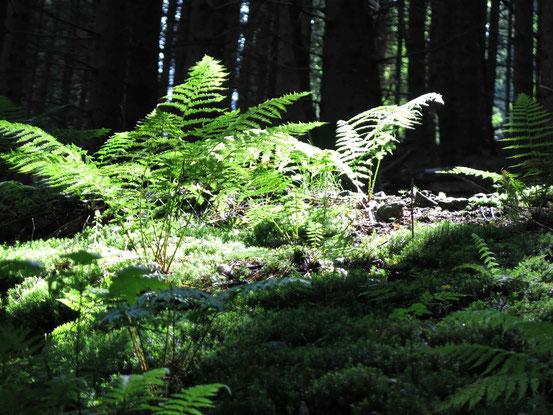 Höhenwanderweg Sankt Andreasberg: Farn im Sonnenlicht