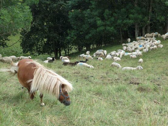Höhenwanderweg Sankt Andreasberg: Schafweide mit Pony unterhalb des Galgenbergs