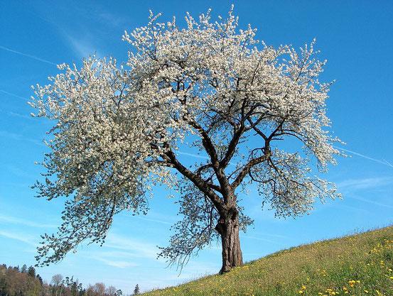 Die früher einsetzende Blüte von Laubbäumen im Frühling ist ein Indikator für die Folgen des Klimawandels.