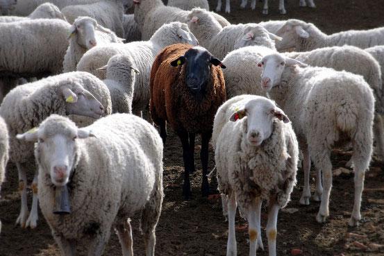 Ein braunes Schaf unter vielen weißen