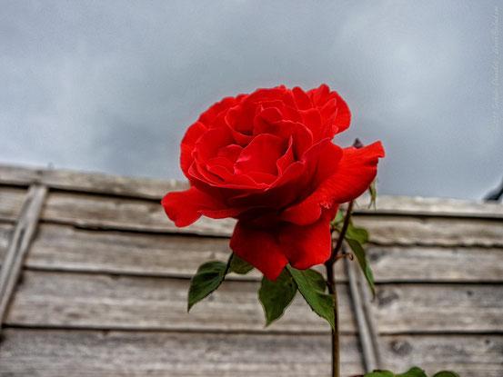 Eine rote Rose vor grauem Hintergrund.