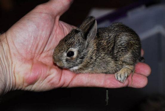 ein kleines Kaninchen, Bildurheber: Mike Perry (CC BY-SA 3.0)