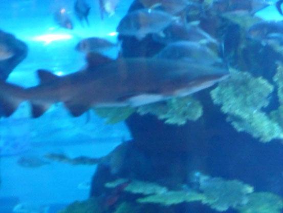 ein kleiner Hai in dem sich über drei Etagen erstreckendem Aquarium der Dubai-Mall.