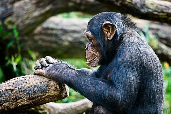 Schimpansen können denken.