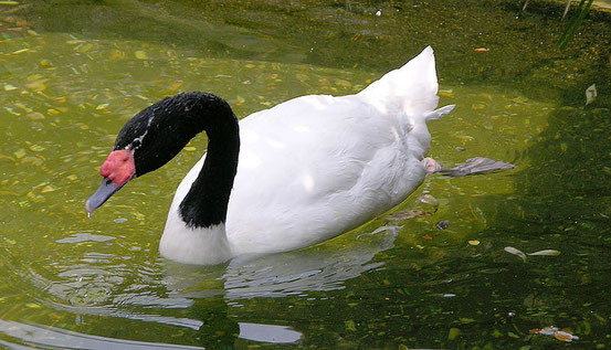Quelle: http://commons.wikimedia.org/wiki/File:Black-necked_Swan_Cygnus_melancoryphus_Swimming_1965px.jpg