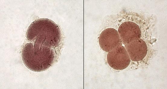 Embryonen im 2- und 4-Zellen-Stadium.