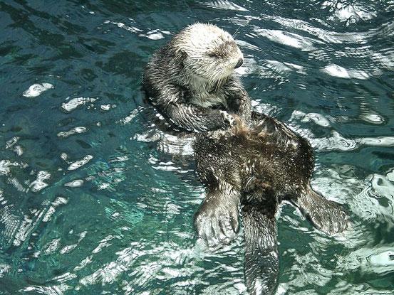 Seeotter beim Knacken einer Muschelschale
