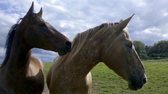 Die Fotovorlage von den beiden Pferden