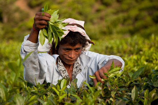 Werden pro Kilo bezahlt: Teepflückerinnen in Ellas Teeplantagen.