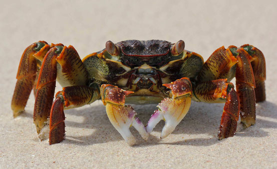 Unsere einzigen Nachbarn in der Bucht: Angriffslustige Krabben.